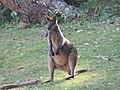 Wallabia bicolor (28627321798).jpg