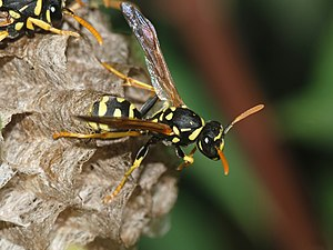 English: A young female paper wasp (Polistes d...