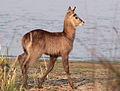 Waterbuck, Kobus ellipsiprymnus at Borakalalo National Park, South Africa (9868733215).jpg