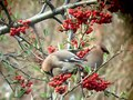 File:Waxwings (Bombycilla garrulus) eating berries.webm