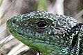 Western Green Lizard - Lacerta bilineata (16820894138).jpg
