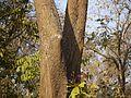 Western Red Cedar (5521859493).jpg