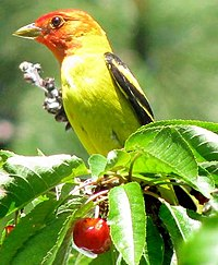 Western Tanager-male-Oregon-cherry.jpg