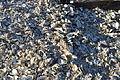 Westport, WA - shells outside Brady's Oysters 02.jpg