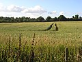 Wheat, Wokingham - geograph.org.uk - 876508.jpg