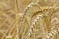 Wheat - Murshidabad 2017-03-28 5980.JPG