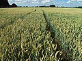 Wheat fields at Nöbbelöv, Lund - panoramio (1).jpg