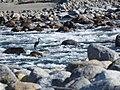 White-Bellied Heron DSCN1518 01.jpg