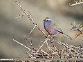 White-browed Tit Warbler (Leptopoecile sophiae) (44394722270).jpg