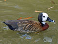 White-faced Whistling-Duck (Dendrocygna viduata) RWD1.jpg