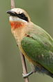 White-fronted Bee-eater, Merops bullockoides, at Rietvlei Nature Reserve, Gauteng, South Africa (16050856415).jpg