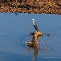 White-necked heron Burke River Boulia Queensland P1030495.jpg