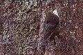 White-throated Treecreeper (Cormobates leucophaea) (8079647930).jpg