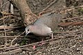 White-tipped Dove National Butterfly Center Mission TX 2018-02-28 15-39-30 (26791624248).jpg
