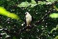 White Hawk (Pseudastur albicollis) (38652367684).jpg