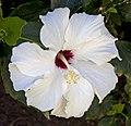 White Hibiscus (5494691991).jpg
