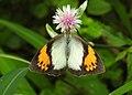 White Orange Tip Ixias marianne female by Dr. Raju Kasambe DSCN8505 (6).jpg