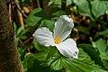 White Trillium Flower Macro PLT-FL-TR-10.jpg