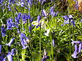 White bluebell.JPG