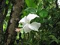 Whitehibiscus.JPG