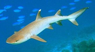 Whitetip-reef-shark cropped.jpg