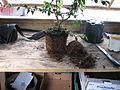 Why I hate peat-based composts (9491832797).jpg