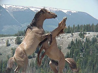 Bighorn Canyon National Recreation Area - Wild horses in the Pryor Mountains along the Wyoming-Montana border
