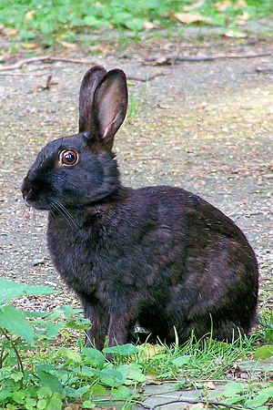 European rabbit - A melanistic European rabbit