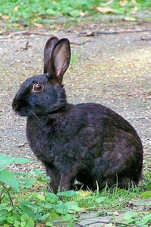 European rabbit - A melanistic European rabbit