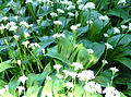 Wild garlic 02 (4652847290).jpg