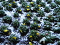 Winter flowers, St James's Park SW1 - geograph.org.uk - 1623485.jpg
