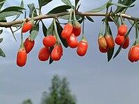 תותי גוג׳י ברי גדלים על שיחים