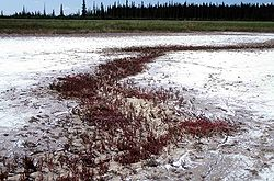 Wood-Buffalo-NP Salt Plains 98-07-04.jpg