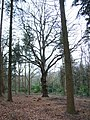 Woodland in Windsor Great Park - geograph.org.uk - 107909.jpg