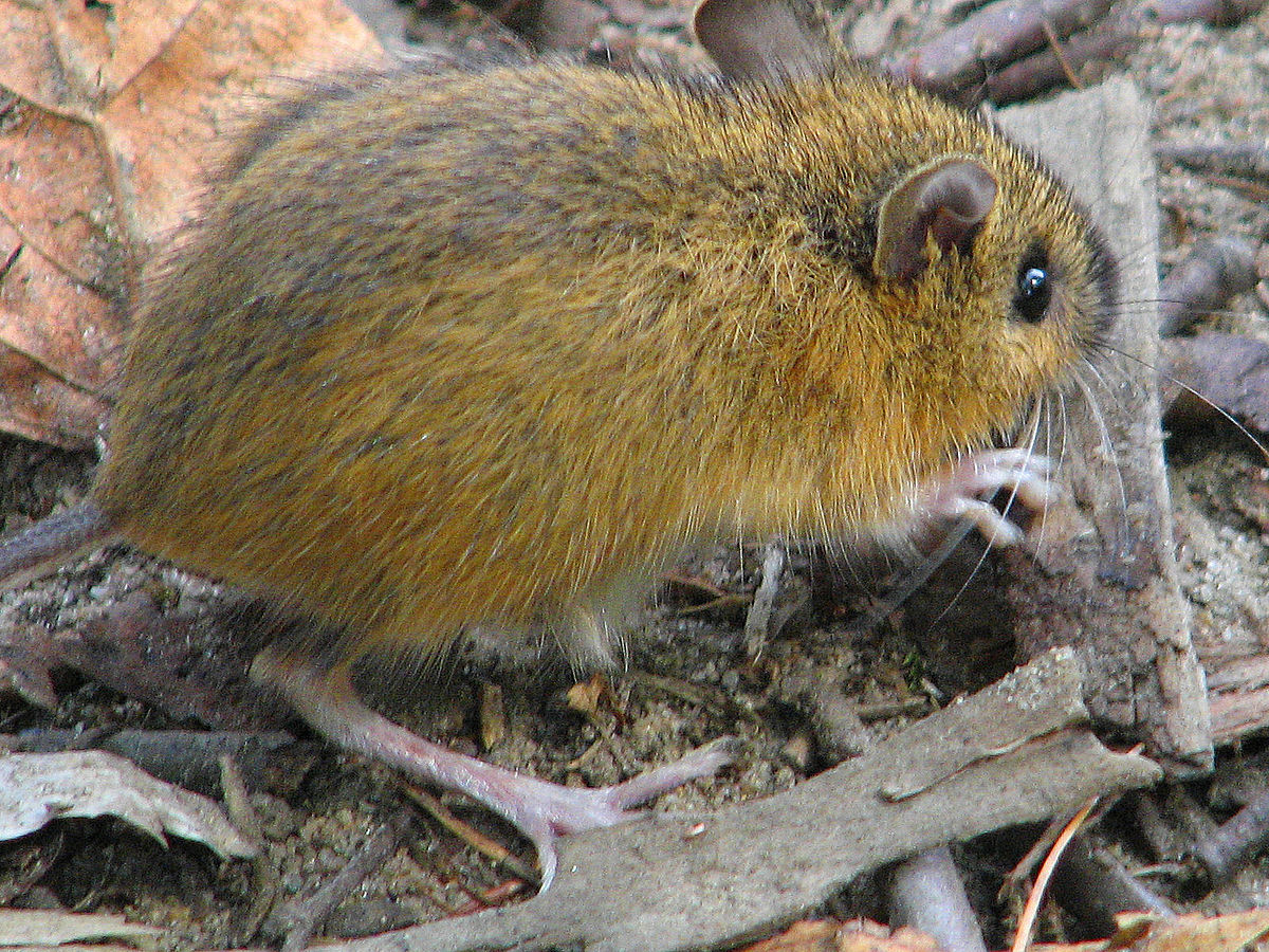 woodland jumping mouse wikipedia