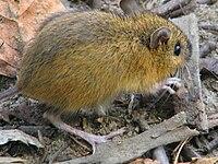 Woodland jumping mouse-closeup.jpg