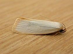Xylorycta assimilis.jpg