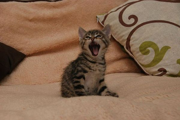Yawning kitty.jpg