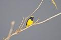 Yellow-crowned Euphonia (Euphonia luteicapilla) (5771822921).jpg