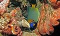 Yellow-face Angelfish (Pomacanthus xanthometopon) (6059138000).jpg