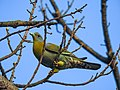Yellow-footed green pigeon 05.jpg