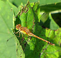 Yellow-legged Meadowhawk, female.jpg