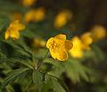 Yellow Anemones in the evening sun (4587533212).jpg
