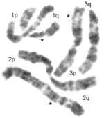 Yellow Fever Mosquito (Aedes aegypti) chromosomes.png