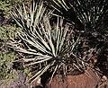 Yucca baccata - Flickr - brewbooks.jpg