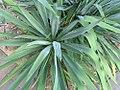 Yucca filamentosa 5zz.jpg