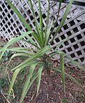 Yucca jaliscensis.jpg