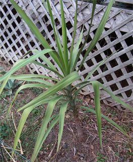 <i>Yucca jaliscensis</i> species of plant
