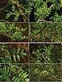 Zanthoxylum fagara and Z. clava-herculis, Heraclides foodplants.jpg