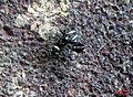 Zebra spider 5 (fp) (5648579743).jpg